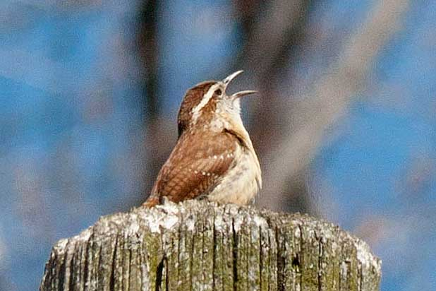 Carolina-Wren-singing