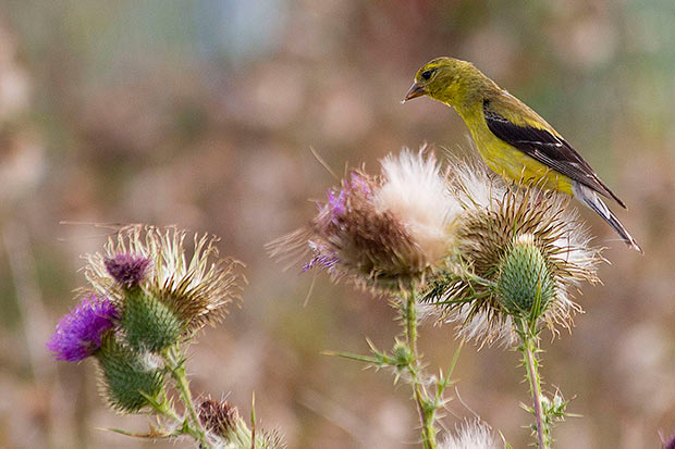 Goldfinch-on-thistle