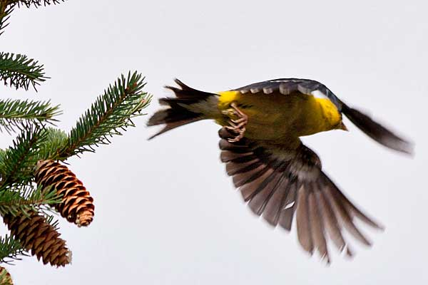 Goldfinch-take-off