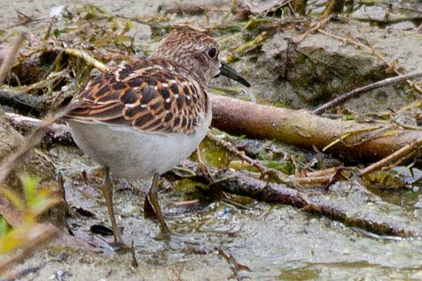 Least-Sandpiper-from-rear