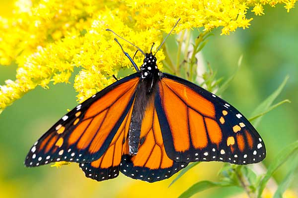 Monarch-on-Goldenrod