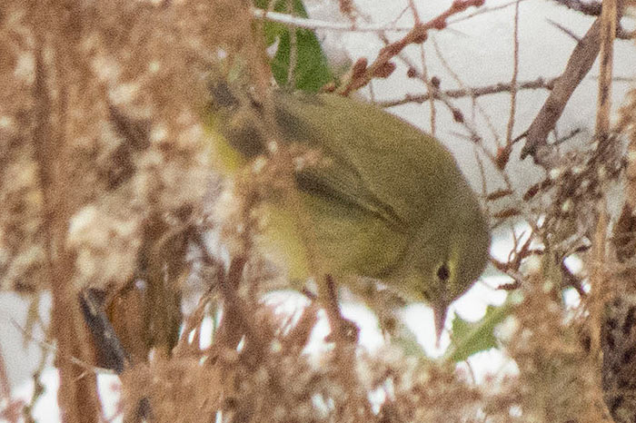Orange-crowned-Warbler2