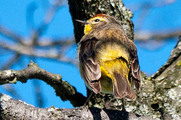 Palm-Warbler-from-behind