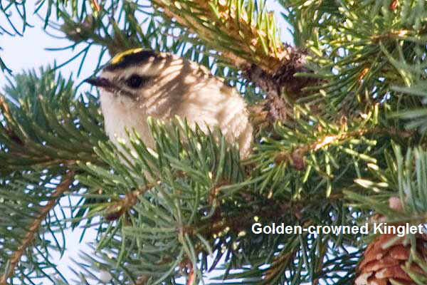 GC-Kinglet-Head-Shot