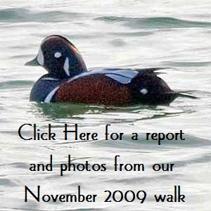 Harlequin-Duck-Button1