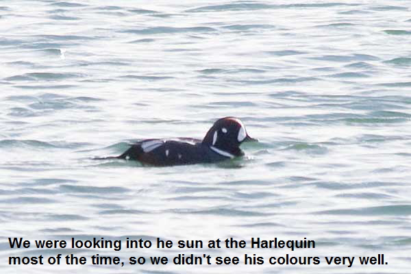 Harlequin-Duck-another-view