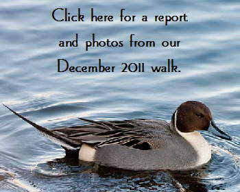 Pintail-ButtonDec2011