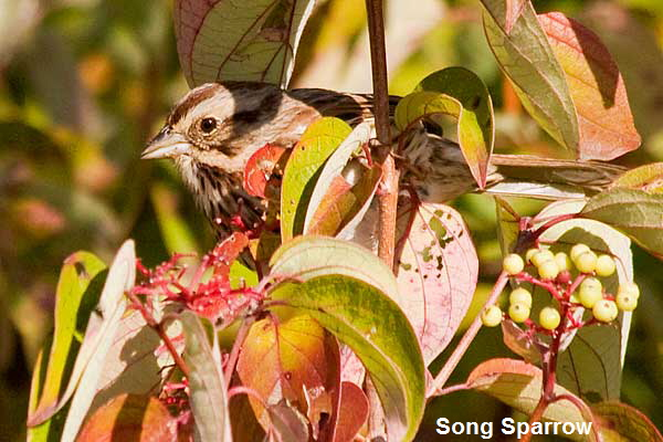 Song-Sparrow peekaboo