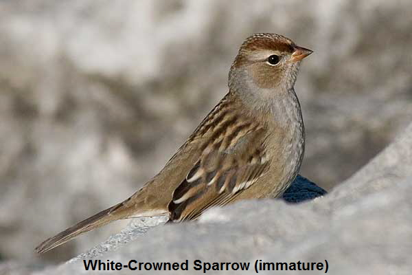White-Crowned-Sparrow-profile