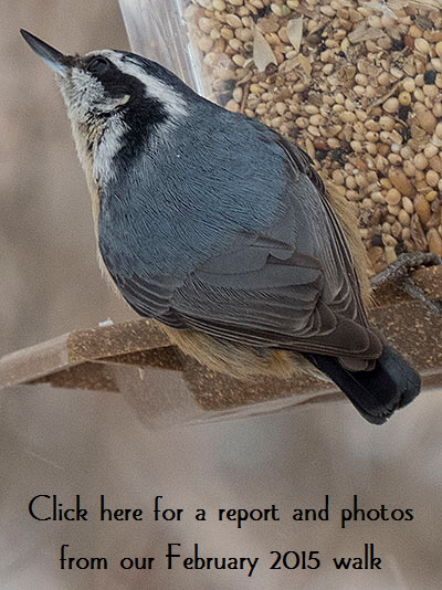 nuthatch-button